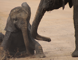 Private Kruger Tour - Elephant Calf