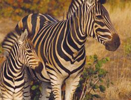 Zebra With Calf on Kruger Safari