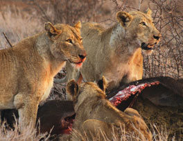 Kruger Safari - Lion Eating Buffalo