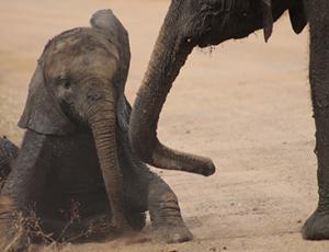 Private Kruger Tours - Elephant Calf