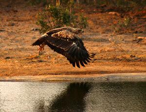 Private Kruger Tours - Tawny Eagle