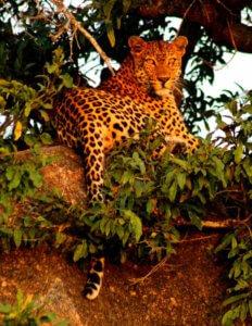 Leopard - 5 Day Kruger Group Safari
