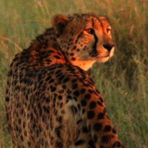 Cheetah - 5 Day Kruger Group Safari