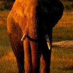 Elephant on Kruger Safari