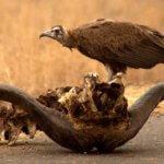 Hooded Vulture - 7 Day Kruger Group Safari
