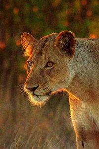 Lioness - Kruger Safari