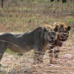 Lions in Hwange - 6 Day Luxury Zimbabwe Safari