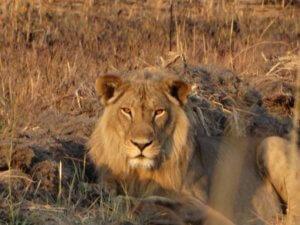 Lion in Hwange National Park - Zimbabwe Safari