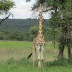 6 Day Mid Range Zimbabwe Safari - giraffe in Hwange