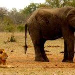 Lion and elephant