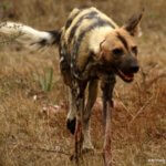 Wild Dog feeding on Impala