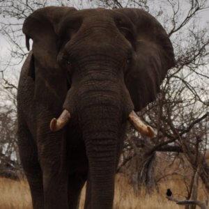 Budget Kruger Safari - Elephant