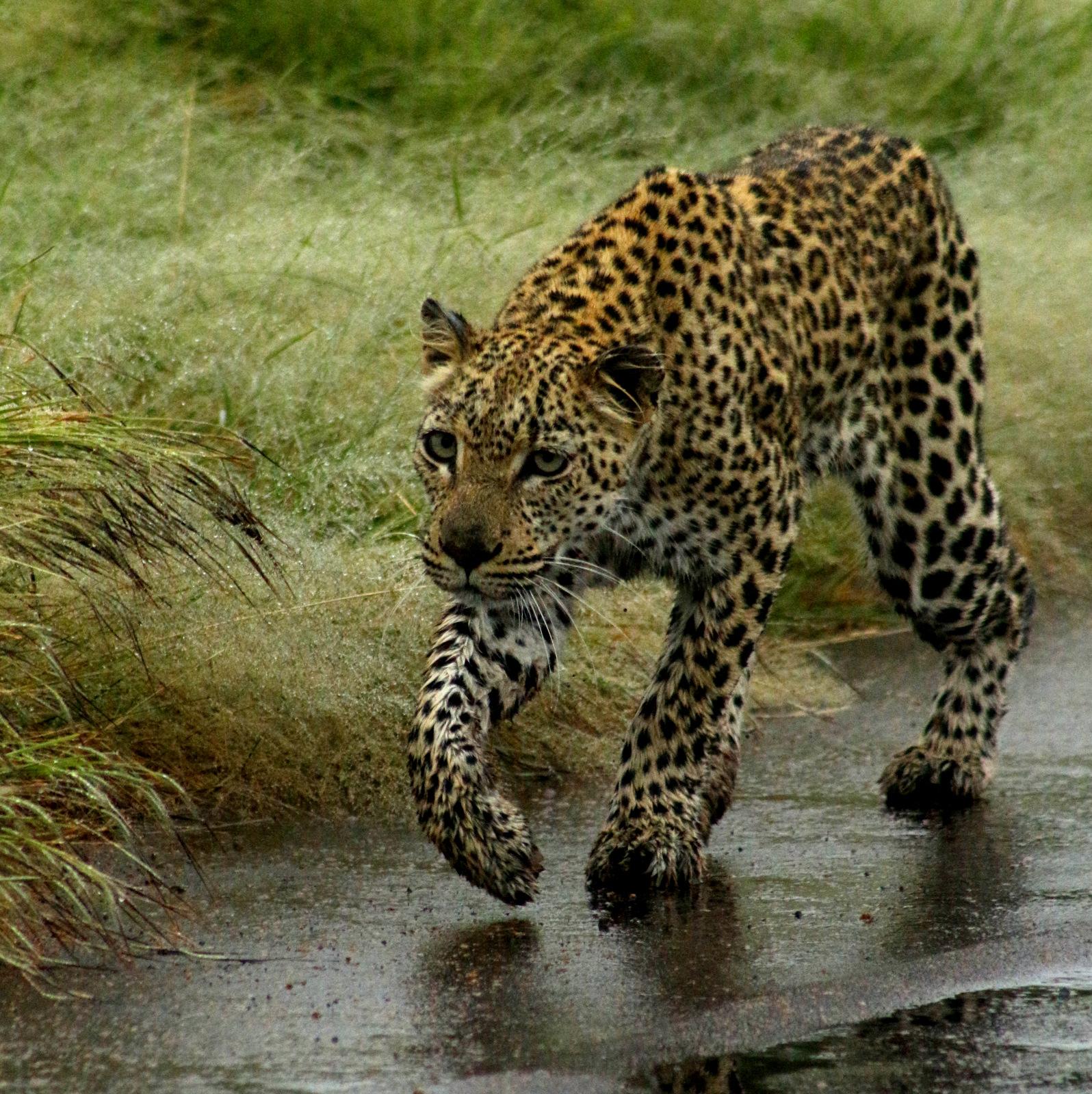 3 Day Kruger Safari - Leopard