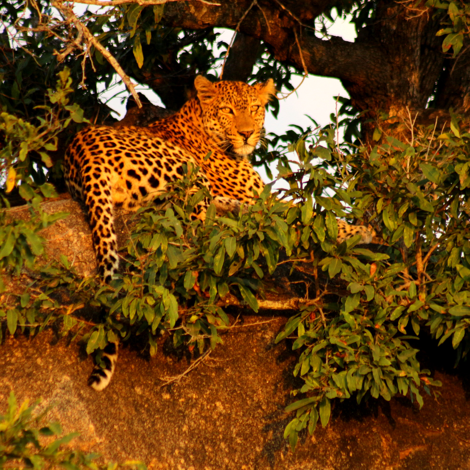 Leopard spotted on a 4 Day Budget Kruger Safari