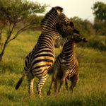 Zebra fight in Kruger