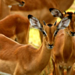 4 Day Budget Kruger Safari - Impala