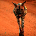 Wild Dog on Kruger Safari
