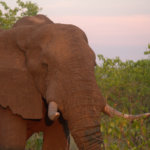 4 Day Budget Kruger Safari - Elephant