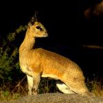 Kilpspringer in Kruger Park