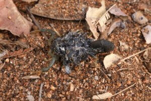 yellow green lesser thick tailed scorpion