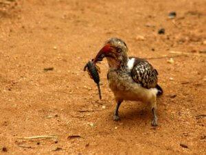 Red Billed Hornbill with Scorpion kill