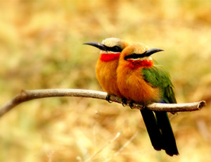 Private Kruger Tours - Bee Eater