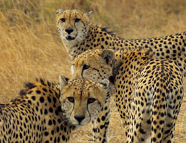 3 Male Cheetah on Kruger Safari