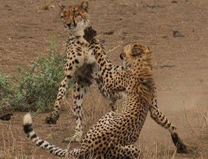 Private Kruger Tours - Cheetah Fight