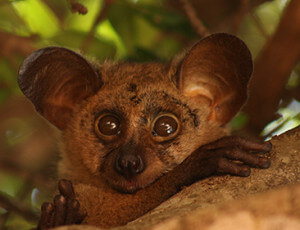 Private Kruger Tours - Bushbaby