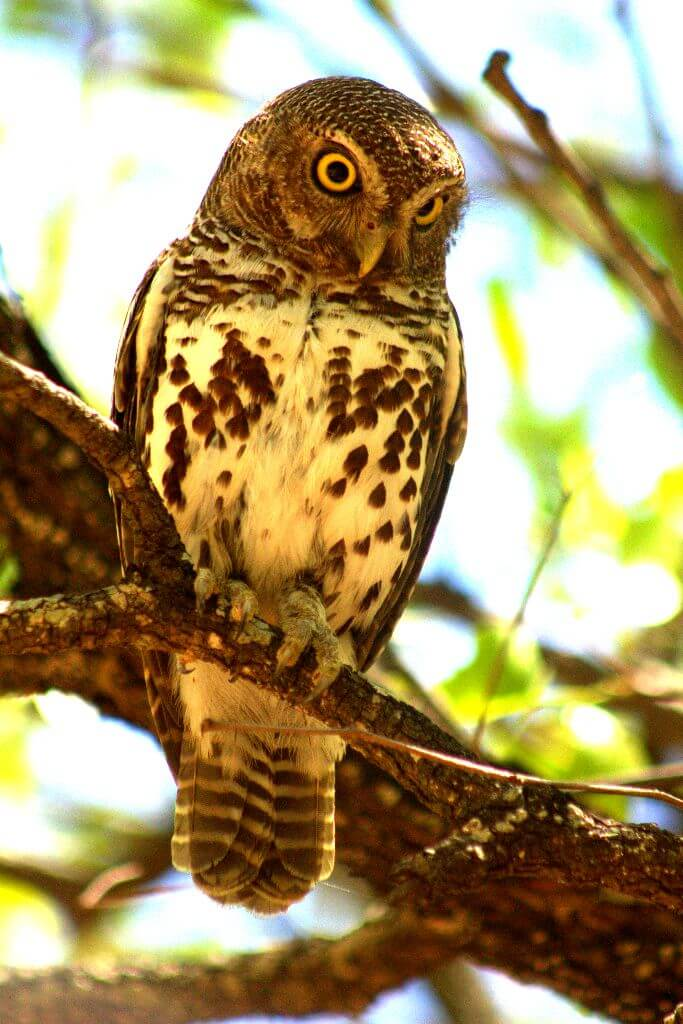 Pearl Spotted Owlet - 7 Day Kruger Group Safari
