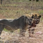 Lions in Hwange - 6 Day Luxury Zimbabwe Safari