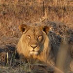 6 Day Mid Range Zimbabwe Safari - Lion in Hwange