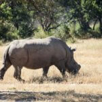 6 Day Mid Range Zimbabwe Safari - White Rhino in Matobo