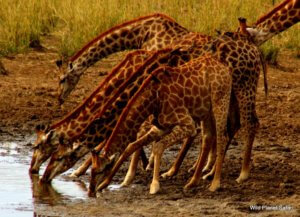 Private Kruger Tours- Giraffe