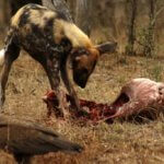 Wild Dog feeding on Impala