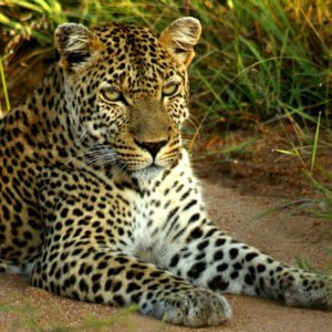 Leopard Spotted on Budget Kruger Safari