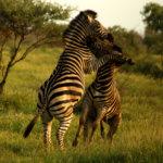 Zebra fight in Kruger