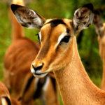 3 Day Budget Kruger Safari - Impala