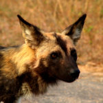 3 Day Budget Kruger Safari - African Wild Dog