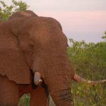 4 Day Budget Kruger Safari - Elephant