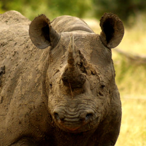 4 Day Budget Kruger Safari - Black Rhino
