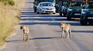 Cheetah Road Block Skukuza